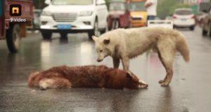 فيديو كلب وفي يحاول إسعاف صديقه